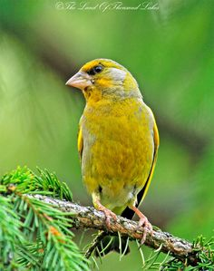 Viherpeippo Reptiles, Finland, Natural Beauty, Scenery, Europe, Birds, Animals, Amazing Nature, Spring