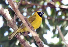 furriel_caryothraustes canadensis Brazilian Birds