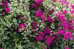 plants for the pergola; bougainvillea and jasmine. pretty and fragrant