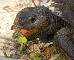 gopher tortoise at lunch