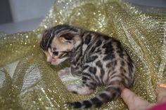 Boomer Katze | Pawshake