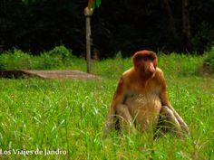 Mono narigudo en Borneo