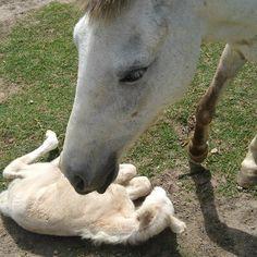 G.A.R.R.A. - Grupo de Ação, Resgate e Reabilitação Animal: Nossa potrinha nasceu! Emília é mamãe!!!