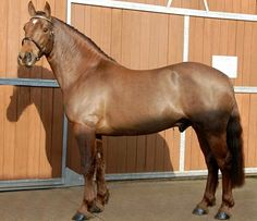 Registered Irish Draught Horse, RID, stallion, Hillviewfarm Trevelyan.