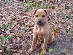 Brandi - Born January 14, 2016. This litter of puppies was rescued on the side of the road where the previous owners were giving them away free. If you are interested in making of them part of your family please fill out a application at wwpetrescue.org.Fenced yard required.  (http://wwpetrescue.org/pet/brandi/)
