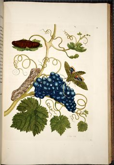 Maria Sibylla Merian Metamorphosis insectorum surinamensium [Transformations of the insects of Surinam] , [1705],  Image number:SIL33-05-35