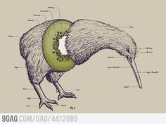 """Anatomy of a Kiwi Bird. WHile working with a New Zealander, I heard someone ask if they eat Kiwi birds. Shocked and appalled, he shot back, """"Do you eat Bald EAGLES!?"""""""