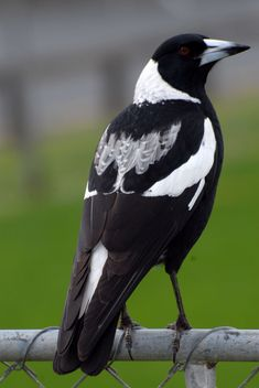 Female Black-backed Magpie. Australia and New Zealand. North Shore Auckland, August Image © Peter Reese by Peter Reese Pretty Birds, Beautiful Birds, Animals Beautiful, Auckland, All Birds, Love Birds, Birds Online, Australian Animals, Mundo Animal