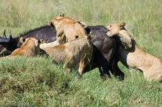 lions cooperating