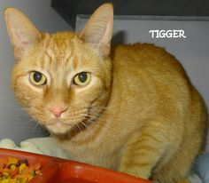ADOPTED! Tag# 7637  Name is Tigger  Orange Manx  Male-neutered   Adoption fee is $20 Located at 2396 W Genesee Street, Lapeer, Mi. For more information, please call 810-667-0236.  https://www.facebook.com/267166810020812/photos/a.802966269774194.1073742130.267166810020812/802970496440438/?type=3&theater