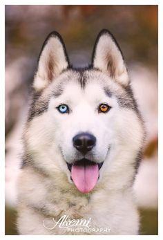 Bowie - Siberian Husky