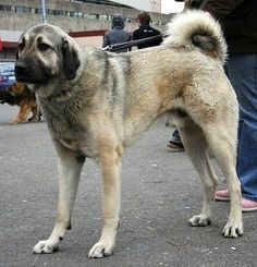 Anatolian Shepherd Dog Kangal Dog Karabash The Karabash, also known as the Anatolian Karabash dog or the Anatolian shepherd, is a Turkish dog that originated in Anatolia, Turkey. This dog, though Turkish in its origins, has been reared the most in America and the entire breed was developed in America. Pinned from ja.wikipedia.org