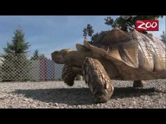 A day in the life of Grouchy the Tortoise at the Columbus Zoo!