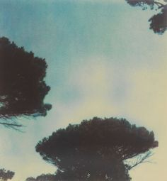 CY TWOMBLY Trees, 1994 Portfolio of 3 dry ink photographs 21 5/8 x 16 3/8 inches (54.9 x 41.6 cm) Ed. of 10