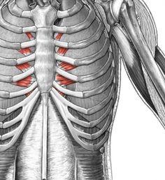 transversus thoracis google search anatomy and