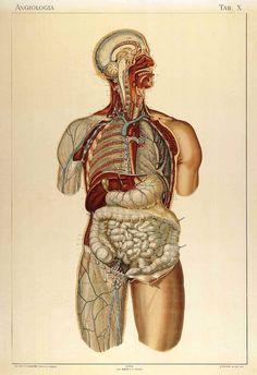 Laskowski, Sigismond (b. 1841). Anatomie normale du corps humain : atlas iconographique de XVI planches (https://pinterest.com/pin/287386019948034826). Angiologia. Tab. X. 1894.