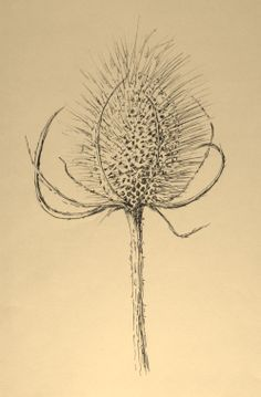 Teasel by Lynn Norton © Done with pen and ink on cartridge paper