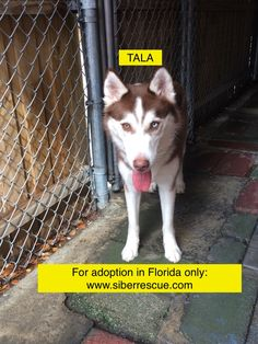 #Florida #Siberian #Husky TALA for #adoption in #FL only: http://www.siberrescue.com/