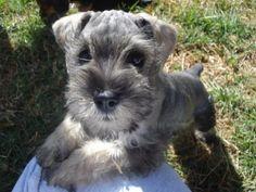 se venden hermosos cachorros schnauzer miniatura, vacunacin ...