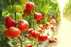 Il pomodoro antiage e alleato delle diete dimagranti