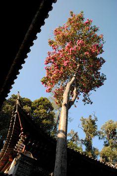 The floral gem: Yunnan camellia