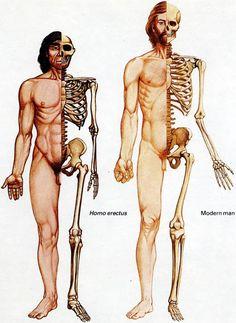 Homo erectus vs. modern man