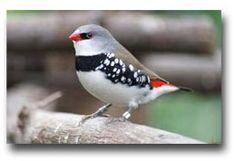 De Diamantvink Emblema guttata syn. Stagonopleura guttata   De diamantvink is een klein vogeltje uit de familie van de prachtvinken (Estrildidae). De oorsprong van de diamantvink is Zuidoost-Australië. Van de diamantvink zijn de kop en nek grijs met een iets blauw en er loopt een zwarte lijn van het oog naar de snavel, de rug en de vleugels zijn bruin.