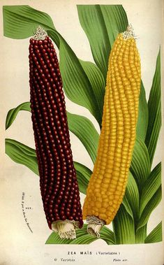 Zea mays L., maize, sweet corn, L. van Houtte, Flore des serres et des jardin de… Vintage Botanical Prints, Botanical Drawings, Botanical Art, Botanical Illustration, Vintage Prints, Vegetable Illustration, Science Illustration, Botanical Science, Illustration Botanique