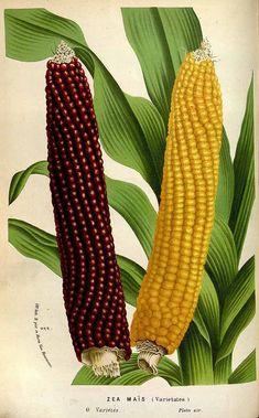 Zea mays L. corn, maize, sweet corn Houtte, L. van, Flore des serres et des jardin de l'Europe, vol. 19: t. 0 (1845)...