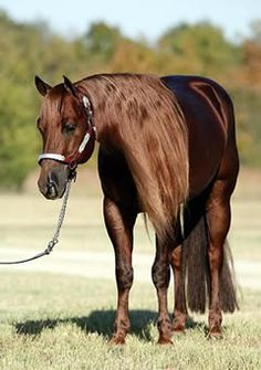 gorgeous This is one FINE Quarter Horse! Most Beautiful Animals, Beautiful Horses, Reining Horses, Dressage, American Quarter Horse, Quarter Horses, All About Horses, Majestic Horse, All The Pretty Horses