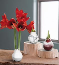 No-Water Wax Dipped Amaryllis Bulbs are perfectly self-sustainable! Makes the perfect gift for your co-workers, family, or friends - no green thumb required!