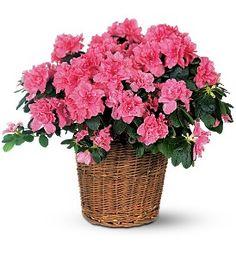 Pink Azalea  Item TF131-3