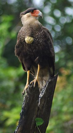 Birds of Prey - Caracara bird
