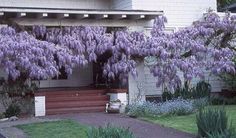Blue Chinese Wisteria Vine 5 Seeds - Hard to Find! Hirts: Seed; Vines & Groundcovers http://www.amazon.com/dp/B000SKMDDY/ref=cm_sw_r_pi_dp_izyPtb0PY5CEQ2DR