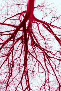 Aislamiento del sistema capilar de un alveolo perteneciente al pulmón de un ratón de campo. Raúl Aparicio. 2015