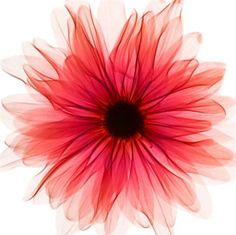 Red X-ray Gerbera (002154) - Arthouse Art - A fresh contemporary image of an x-ray of a red flower head on a bright white background printed canvas.