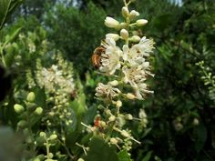 Bees and other pollinators love Clethra alnifolia