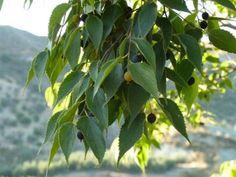 almez fruto - Buscar con Google