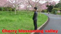 Cherry blossoming valley, Auckland Botanic Gardens