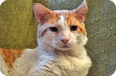Brooklyn, NY - Domestic Shorthair. Meet Egg-sellent Cadbury, a cat for adoption…