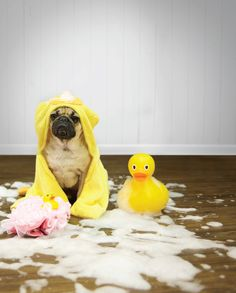 Doug the Pug gets wet and wild - without any worry about clean up - on Mohawk's new Solidtech flooring