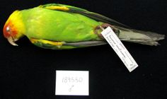 The Carolina Parakeet was the only parrot species native to the eastern United States. It went extinct in the early 20th century presumably due to habitat loss and persecution by humans.  More about this species on EOL: http://eol.org/pages/1047280  This specimen from the Smithsonian Division of Birds collection was one of the last surviving birds.  It was born in captivity in 1902.  Image by Christina A. Gebhard via National Museum of Natural History Image Collection (cc-by-nc-sa).