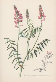 1950's Vintage Botanical Print Onobrychis by AntiquePrintGarden
