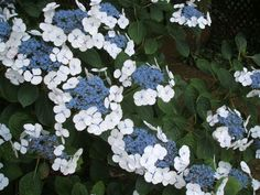 amazing lace cap - need some for the yard English Flower Garden, Hydrangea, Blue And White, Seasons, Amazing, Flowers, Plants, Yard, Summer