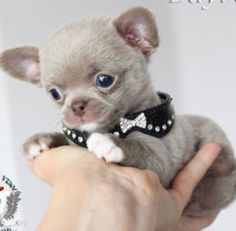Effective Potty Training Chihuahua Consistency Is Key Ideas. Brilliant Potty Training Chihuahua Consistency Is Key Ideas. Baby Chihuahua, Chihuahua Puppies For Sale, Cute Puppies, Cute Dogs, Dogs And Puppies, Tiny Puppies For Sale, Teacup Puppies For Sale, Poodle Puppies, Little Dogs