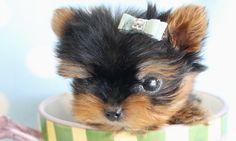 tiny micro teacup yorkie by TeaCupsPuppies.com