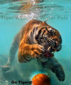 golden tabby tiger | Tags: golden tabby tiger, tabby tiger, golden tabby, strawberry tiger ...