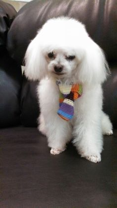Mini poodle  Looks like me miss my Mistletoe so much :( Seriously thinking of getting another one.