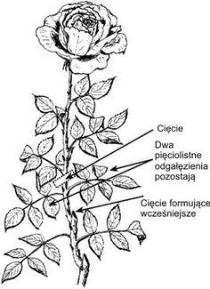Forum Ogrodnicze Oaza :: Topic: Pielęgnacja róż (3/16)