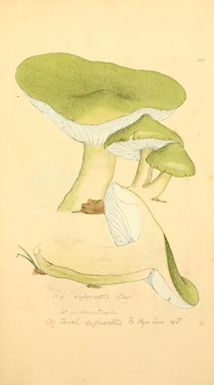 James Sowerby, Coloured figures of English fungi or mushrooms (1797-[1809])